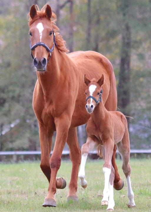 horse breeding - Schneiders Sporthorses