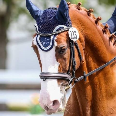 Dressage Horse -SS